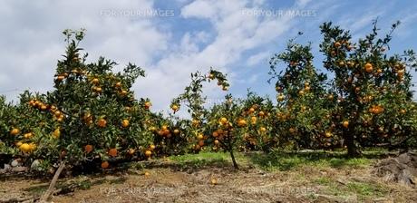 みかん畑の写真素材 [FYI01223604]