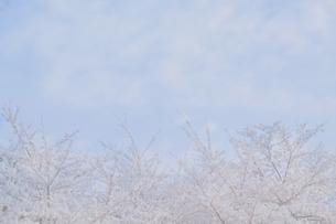 青空と桜の写真素材 [FYI01223679]