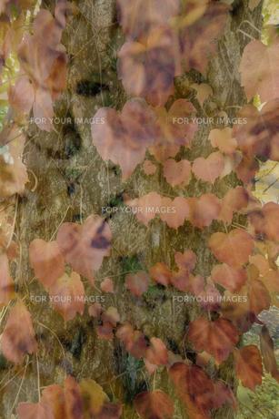 秋化粧の写真素材 [FYI01223703]