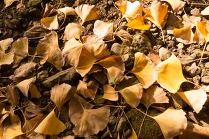 落ち葉と新芽の写真素材 [FYI01223723]