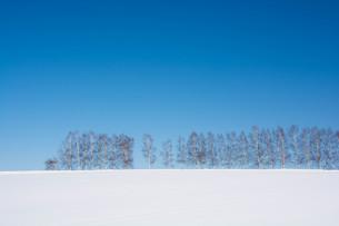 雪の丘とシラカバ並木 美瑛町の写真素材 [FYI01223742]