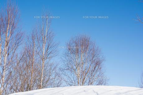 冬の青空とシラカバの写真素材 [FYI01223747]