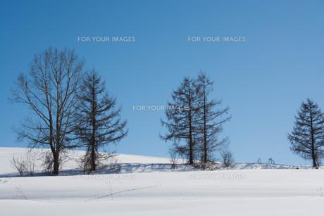 冬のカラマツと青空の写真素材 [FYI01223751]