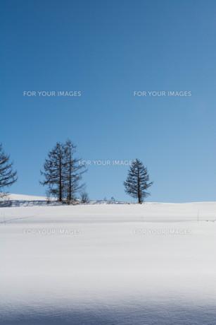 冬のカラマツと青空の写真素材 [FYI01223752]