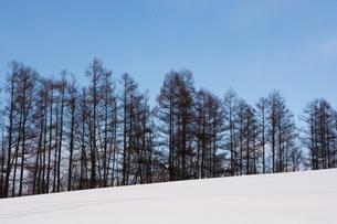 冬のカラマツと青空の写真素材 [FYI01223753]