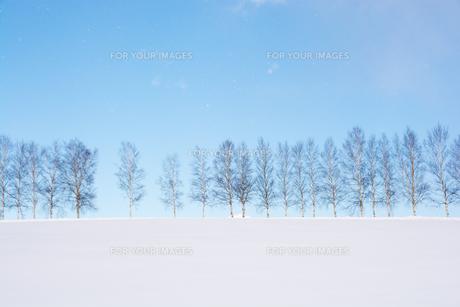 雪の丘とシラカバ並木 美瑛町の写真素材 [FYI01223754]