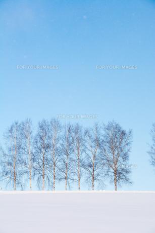 雪の丘とシラカバ並木 美瑛町の写真素材 [FYI01223755]