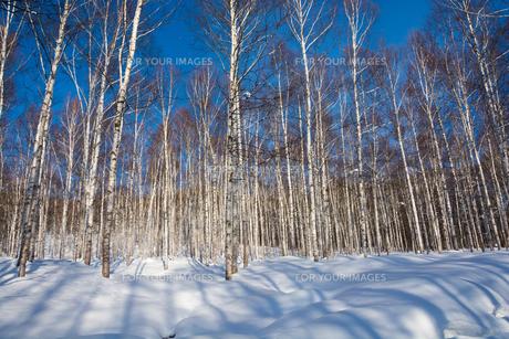 冬の白樺林と青空の写真素材 [FYI01223756]