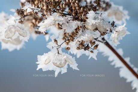 枯れた花についた霜の結晶の写真素材 [FYI01223760]