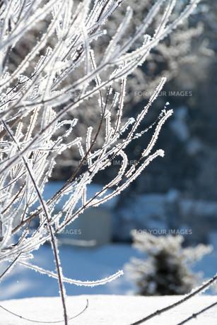 朝日に輝く霧氷の写真素材 [FYI01223771]