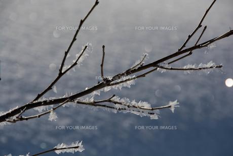 朝日に輝く霧氷の写真素材 [FYI01223772]