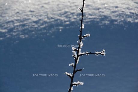 朝日に輝く霧氷の写真素材 [FYI01223773]