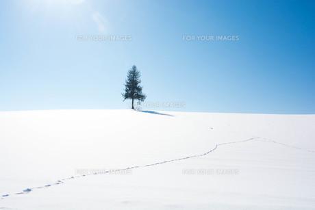 雪原に経つ松の木と青空 美瑛町の写真素材 [FYI01223778]