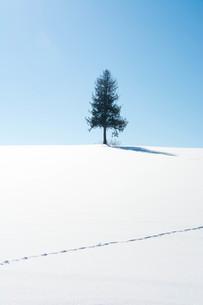 雪原に経つ松の木と青空 美瑛町の写真素材 [FYI01223779]