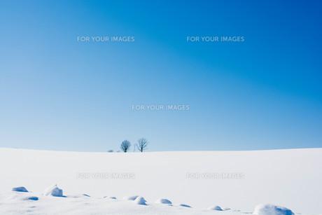 雪原の冬木立と青空 美瑛町の写真素材 [FYI01223785]
