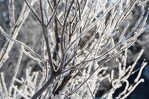 朝日に輝く霧氷の写真素材 [FYI01223786]
