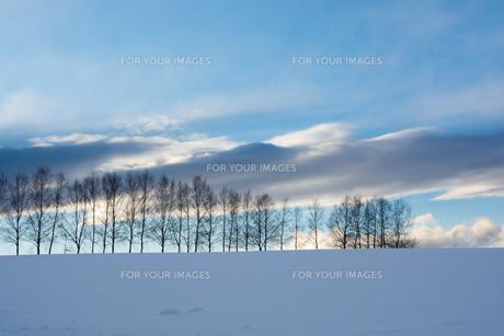 雪の丘とシラカバ並木 美瑛町の写真素材 [FYI01223788]