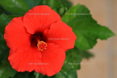 赤色のハイビスカスの写真素材 [FYI01223893]