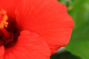 赤色のハイビスカスの写真素材 [FYI01223894]