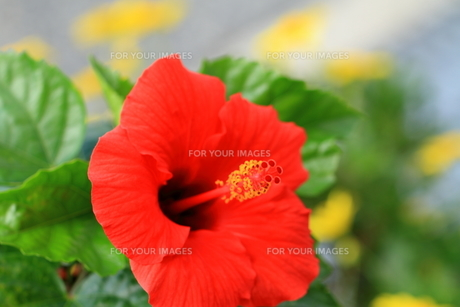 赤色のハイビスカスの写真素材 [FYI01223896]