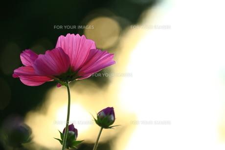光とコスモスの写真素材 [FYI01224047]