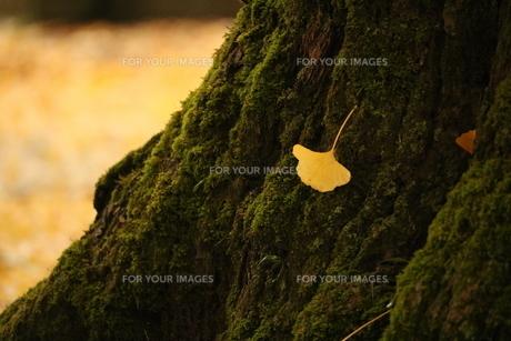 銀杏の写真素材 [FYI01224071]
