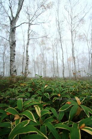 冬の白樺の森の写真素材 [FYI01224073]