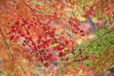 色彩豊かな秋のもみじの写真素材 [FYI01224074]