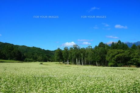 白い蕎麦の花畑と青空の写真素材 [FYI01224077]