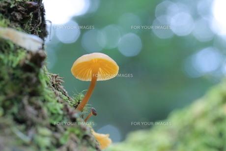 信州の森のキノコたちの写真素材 [FYI01224081]