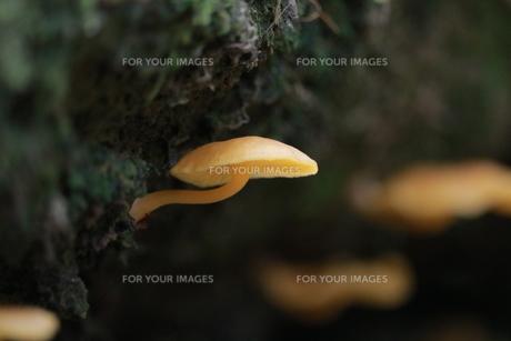 信州の森のキノコたちの写真素材 [FYI01224083]