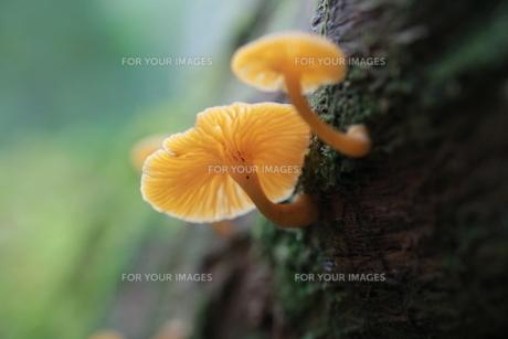 信州の森のキノコたちの写真素材 [FYI01224086]