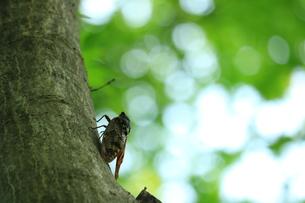 夏の蝉の写真素材 [FYI01224088]