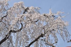 所沢の桜の写真素材 [FYI01224213]