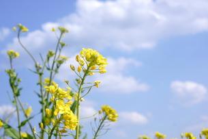 菜の花と青空と白い雲の写真素材 [FYI01224334]