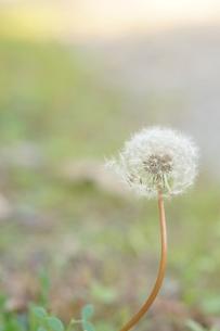 風の通りぬけたたんぽぽの綿毛の写真素材 [FYI01224336]