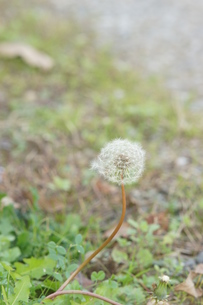 風の通りぬけたたんぽぽの綿毛の写真素材 [FYI01224337]