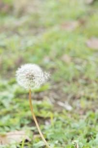 風の通りぬけたたんぽぽの綿毛の写真素材 [FYI01224338]