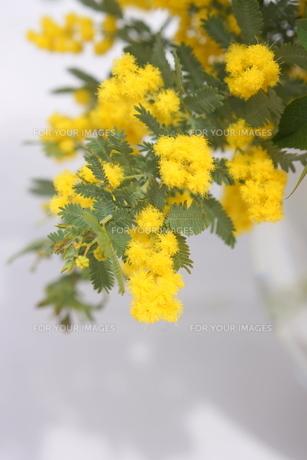 ミモザの花の写真素材 [FYI01224339]