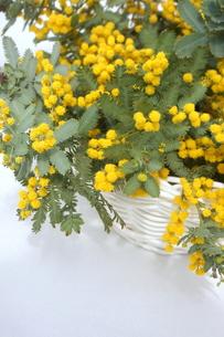 ミモザの花の写真素材 [FYI01224340]