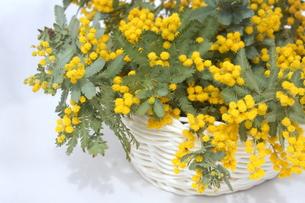 ミモザの花の写真素材 [FYI01224341]