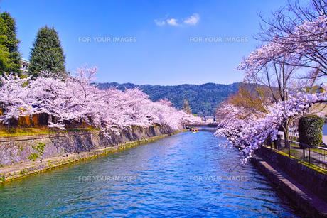春の京都、満開の桜咲く琵琶湖疎水と遊覧船の写真素材 [FYI01224429]