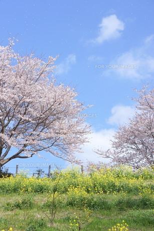 桜と菜の花と青空の写真素材 [FYI01224808]