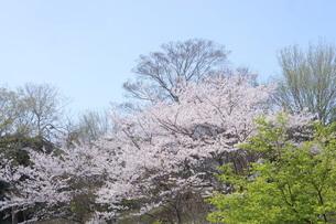 桜と新緑と青空の写真素材 [FYI01224811]