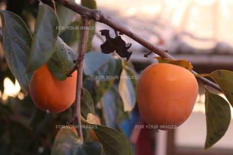 色づいた柿の写真素材 [FYI01224848]