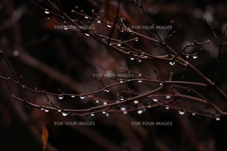 木の枝の露の写真素材 [FYI01224856]
