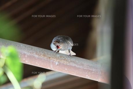 荒れ狂うヒヨドリの写真素材 [FYI01224859]