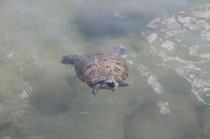 泳ぐカメの写真素材 [FYI01224880]