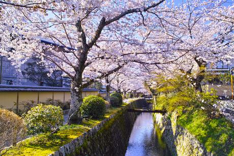 春の京都、満開の桜咲く哲学の道からみた景色の写真素材 [FYI01224886]
