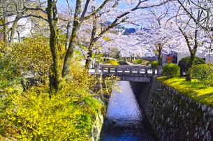 春の京都、満開の桜咲く哲学の道からみた景色の写真素材 [FYI01224887]